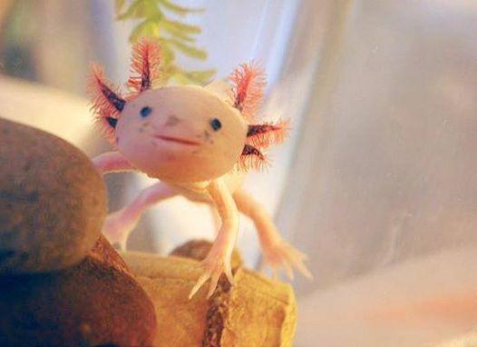 Axolotl: salamandra messicana ispirazione per progetto ibrido